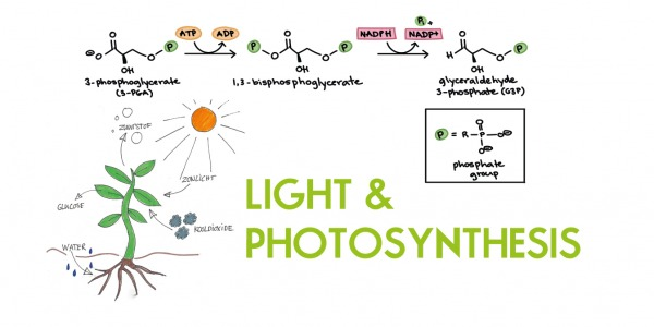 Blue and Red Light in Photosynthesis